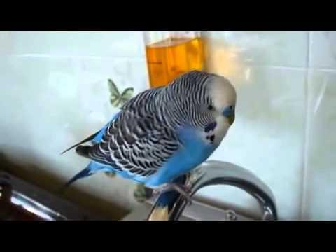 Говорящий попугай. Прикол. Хозяйка на работу,попугай за