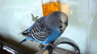 Приколы про попугаев  Матерящийся попугай