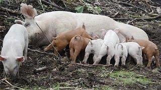 放牧して豚を育てる牧場が北海道十勝地方で相次いでいる。牧草地や山林...