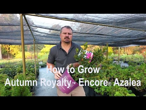 How To Grow Autumn Royalty™ Encore® Azaleas With A Detailed Description
