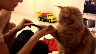 Котик Веня решил сделать маникюр Коту пилят ногти