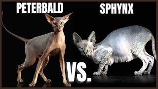 Peterbald Cat VS. Sphynx Cat