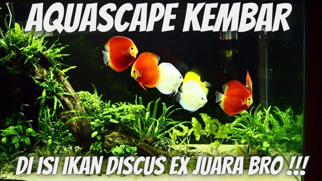 IKAN DISCUS EX JUARA MASUK AQUASCAPE KEMBAR BRO !!!