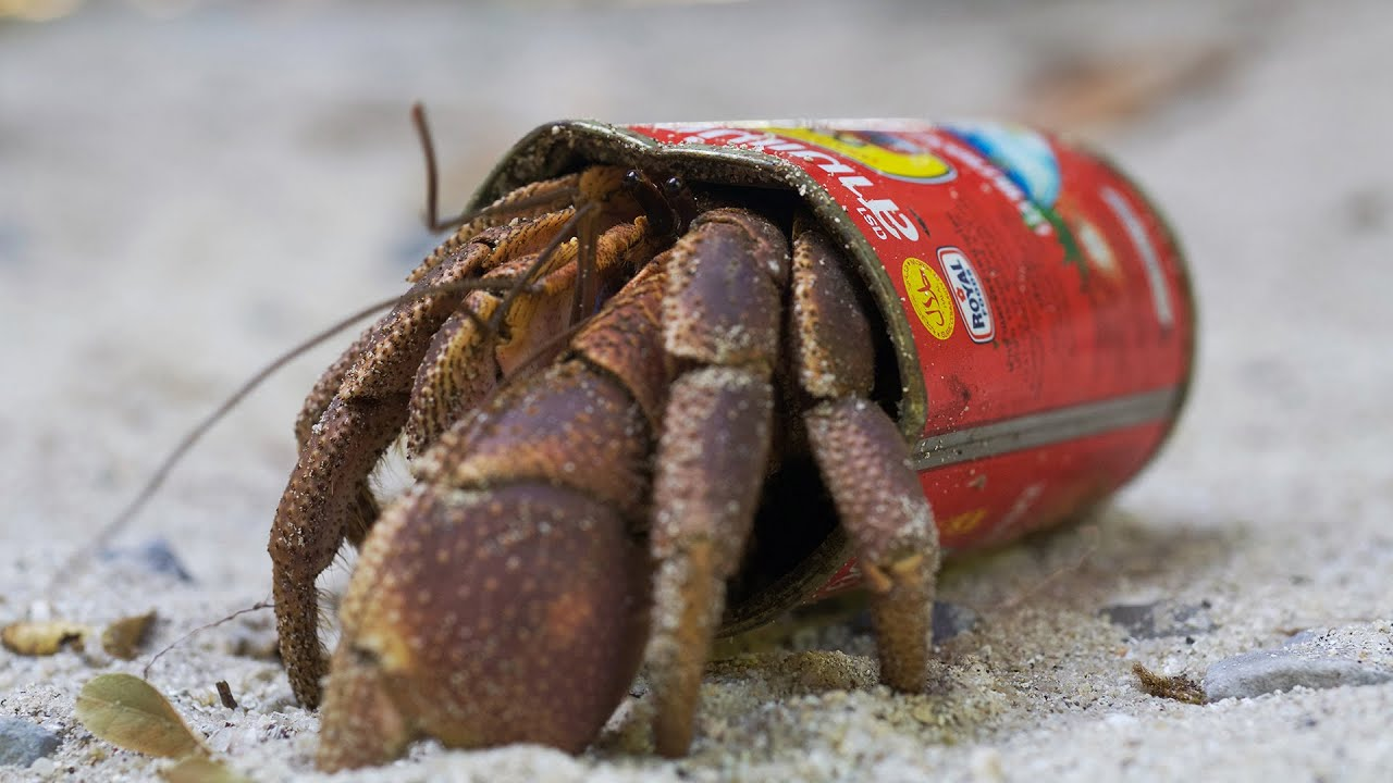 crafty hermit crab finds a new home in a food tin bbc earth youtube
