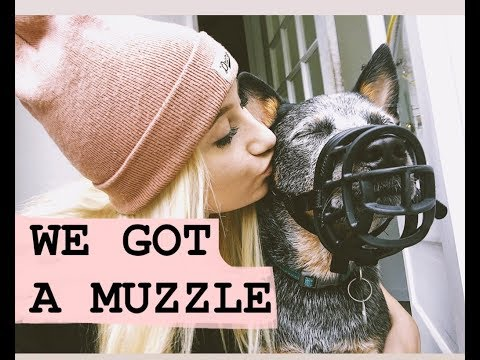 why-i-got-my-dog-a-muzzle-!---louie-the-blue-heeler