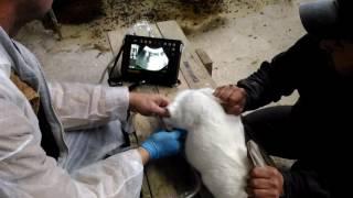определение беременности у кроликов с помощью узи. Для тех, кто не пользуется пальпацией