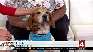 Pet of the Week: Lucas the foxhound