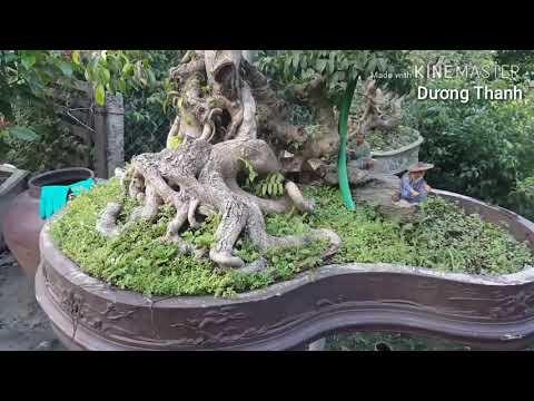 Cây xanh cảnh , cây thế, cây bonsai