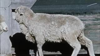 The external parasites of sheep (195?)