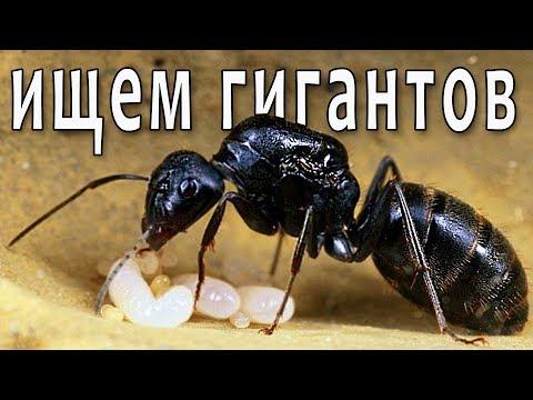 Ищем муравьёв-гигантов! Похождения за кампонотусами (Camponotus vagus и другие) В поисках маток 2.2