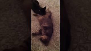 Кошачий куни