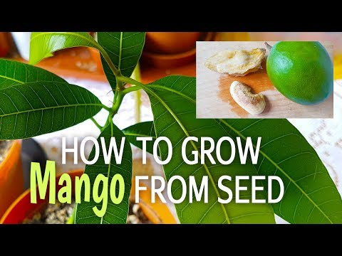 How To Grow Mango Tree From Seed | How To Germinate Mango Seed