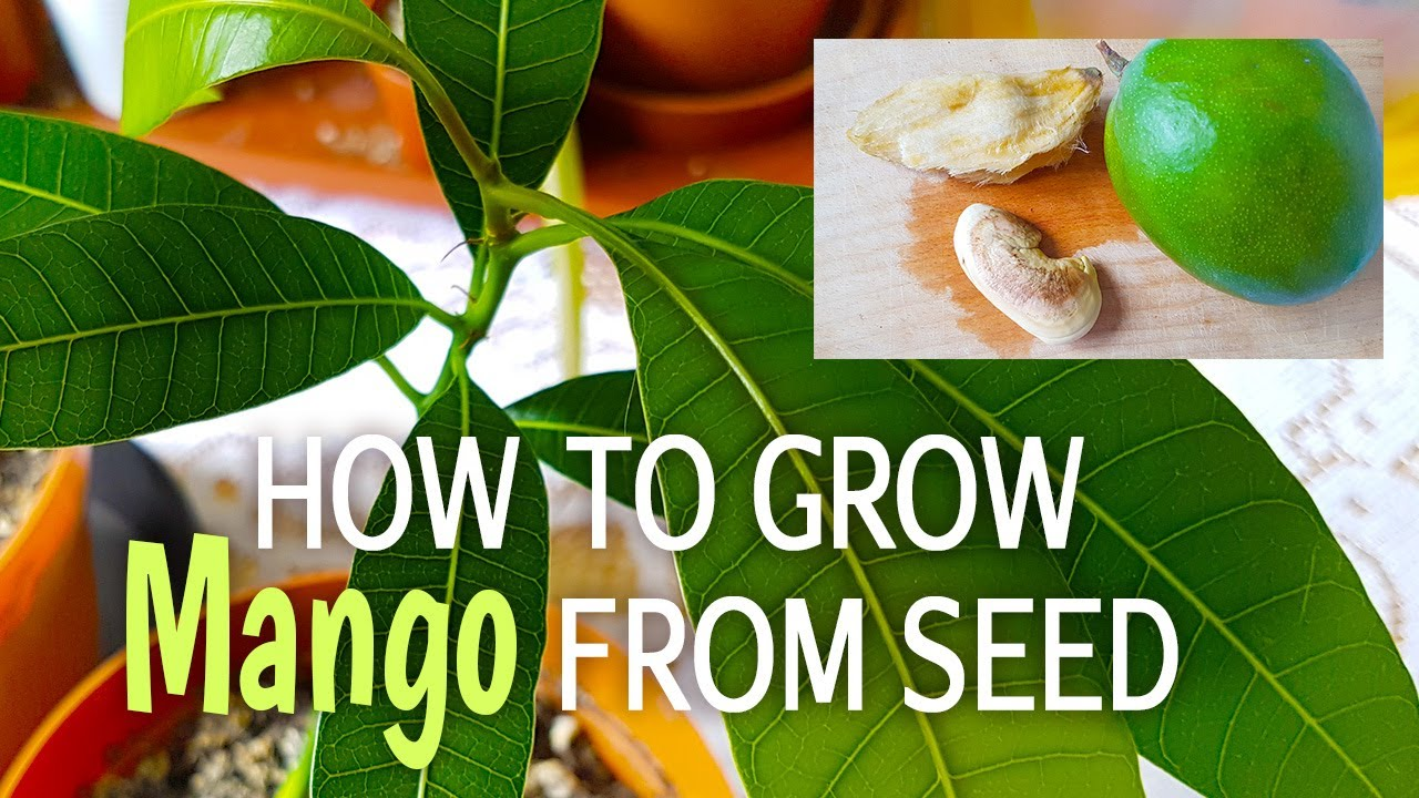 how to eat mango seed