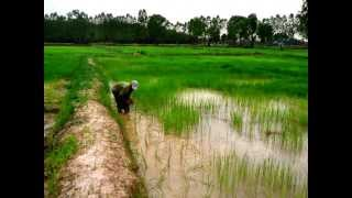 UdonThani Rice Farms for sale large or small open to offers. UdonThani land for sale