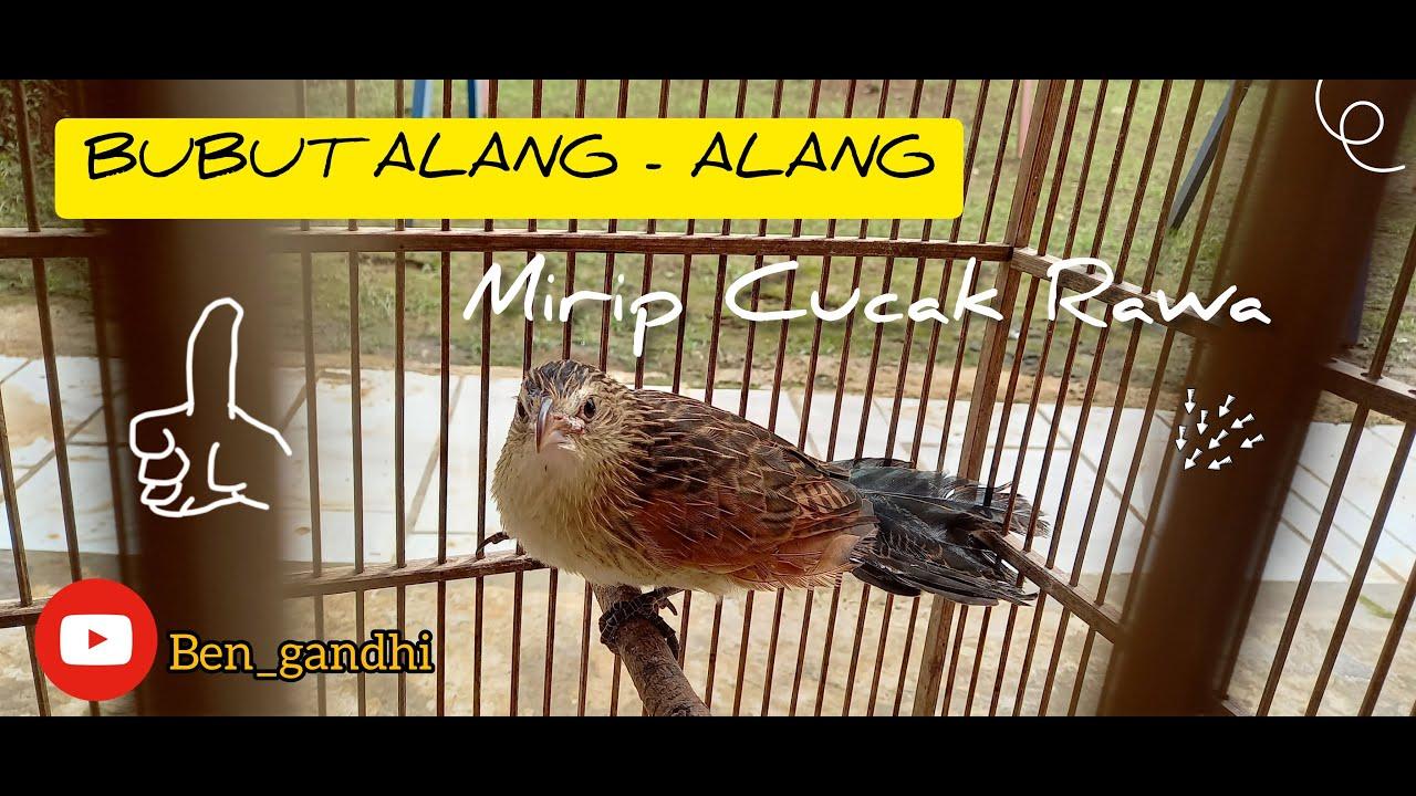 Burung Bubut Alang Alang Jawa Barat Burung Dudut Purwakarta Sempur Youtube