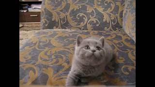 Голубая британская кошечка 1.5 месяца