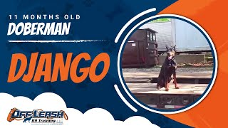 "11-month Old Doberman ""django:"" Before And After Video With Owner Testimonial"