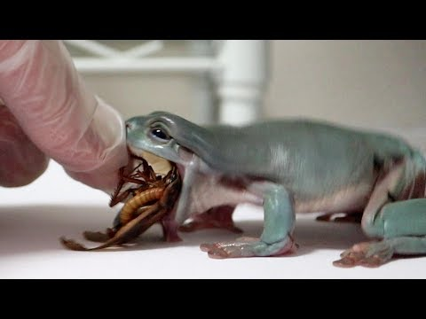 カエルに大量のミルワームが食べるゴキブリをあげてみた結果…かわいすぎた!