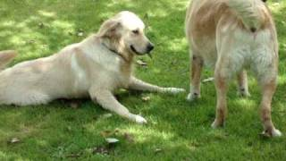 Joey & Herbie A Golden Retriever And  Labrador Retriever
