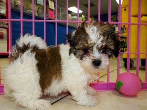 Shichon, Puppies, Dogs, For Sale, In Memphis, Tennessee ...