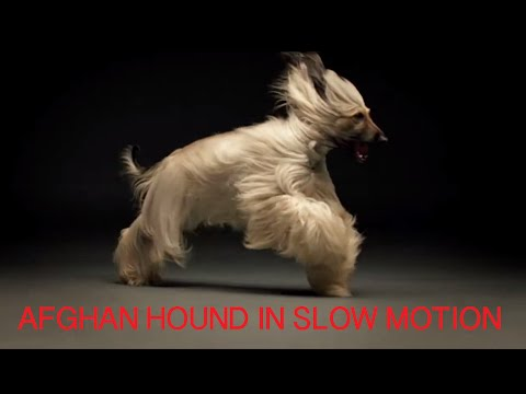 Afghan Hound Slow Motion