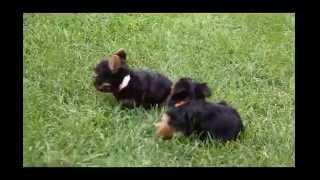 Yorkshire Terrier Puppies For Sale Samuel Stoltzfus