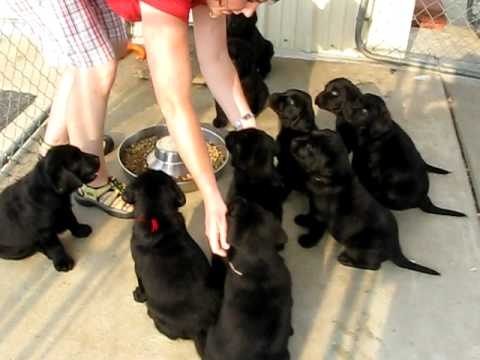 Ten Lab Puppies Sit and Wait for Food