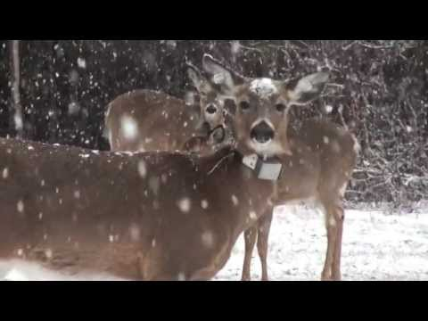 Technology Shows Whitetail Deer Seasonal Travel