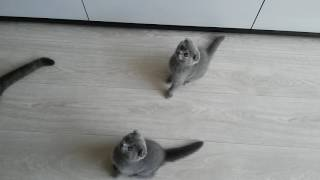 Британцы котята