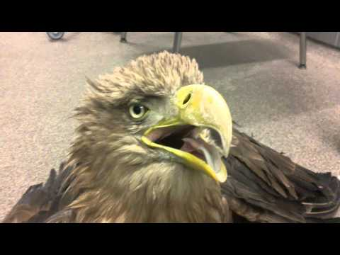 White-tailed eagle with acute lead poisoning