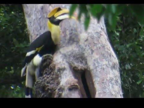 Great Hornbill nesting video