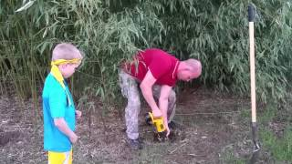 Harvesting Golden Bamboo in Oklahoma