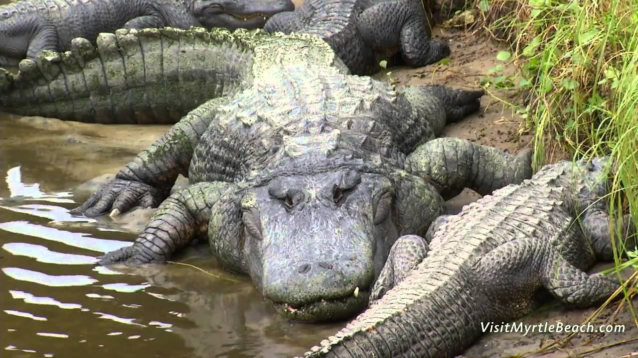 Crocodile Myrtle Beach Sc