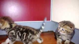 """Питомник Абиссинских и Шотландских кошек """"MARY-HOUSE"""" www.mary-house.com"""