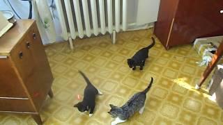 Котята охотятся на лазерного зайчика. Кто лучший охотник?
