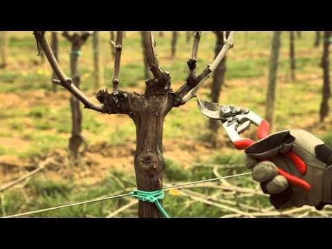 Vite a Guyot: potatura invernale per garantire la continuità dei canali laterali