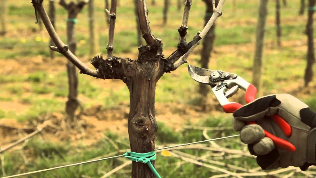 Vite a guyot potatura invernale per garantire la continuit dei canali laterali youtube - Potatura uva da tavola ...