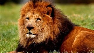 Lions VS hommes   documentaire animaux sauvages complet HD 720p mp4