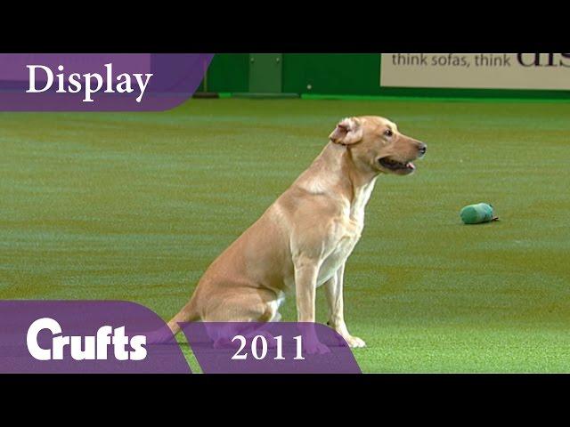 Gundog Display at Crufts 2011 | Crufts Classics