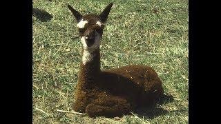 New baby alpacas! 2019 baby season has begun!