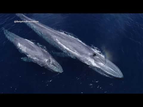 Blissful Drone Footage of Blue Whales in San Diego
