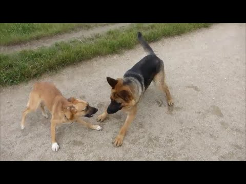 GERMAN SHEPHERD SOCIALIZING AT RIVERSIDE DOG PARK