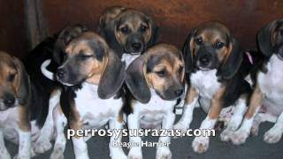 Beagle Harrier, el perro entusiasta e infatigable