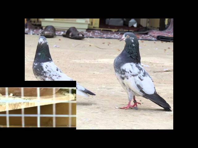 Pakistani Tipplers Kabootars Pigeons Travel Video