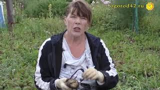 Способ борьбы с плагиатом в картофелеводстве