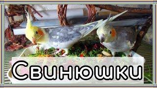 Пищевое поведение попугаев или почему попугаи мусорят. Содержание попугая дома.