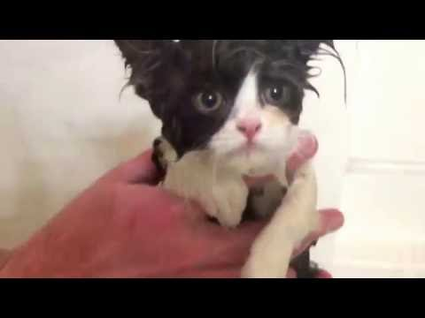 PERSIAN KITTEN GETS A BATH