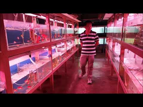 LIOW VIDEO: Visit Fish Farm And Bought A Flowerhorn 鱼场选购罗汉鱼