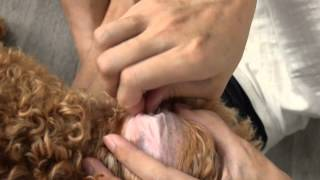 Amber Toy Poodle - Gucci Ear Cleaning