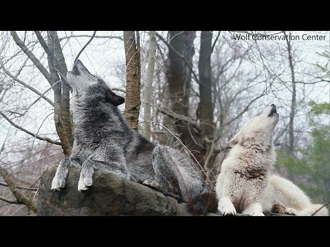 Howling Wolves: Zephyr and Alawa's Song